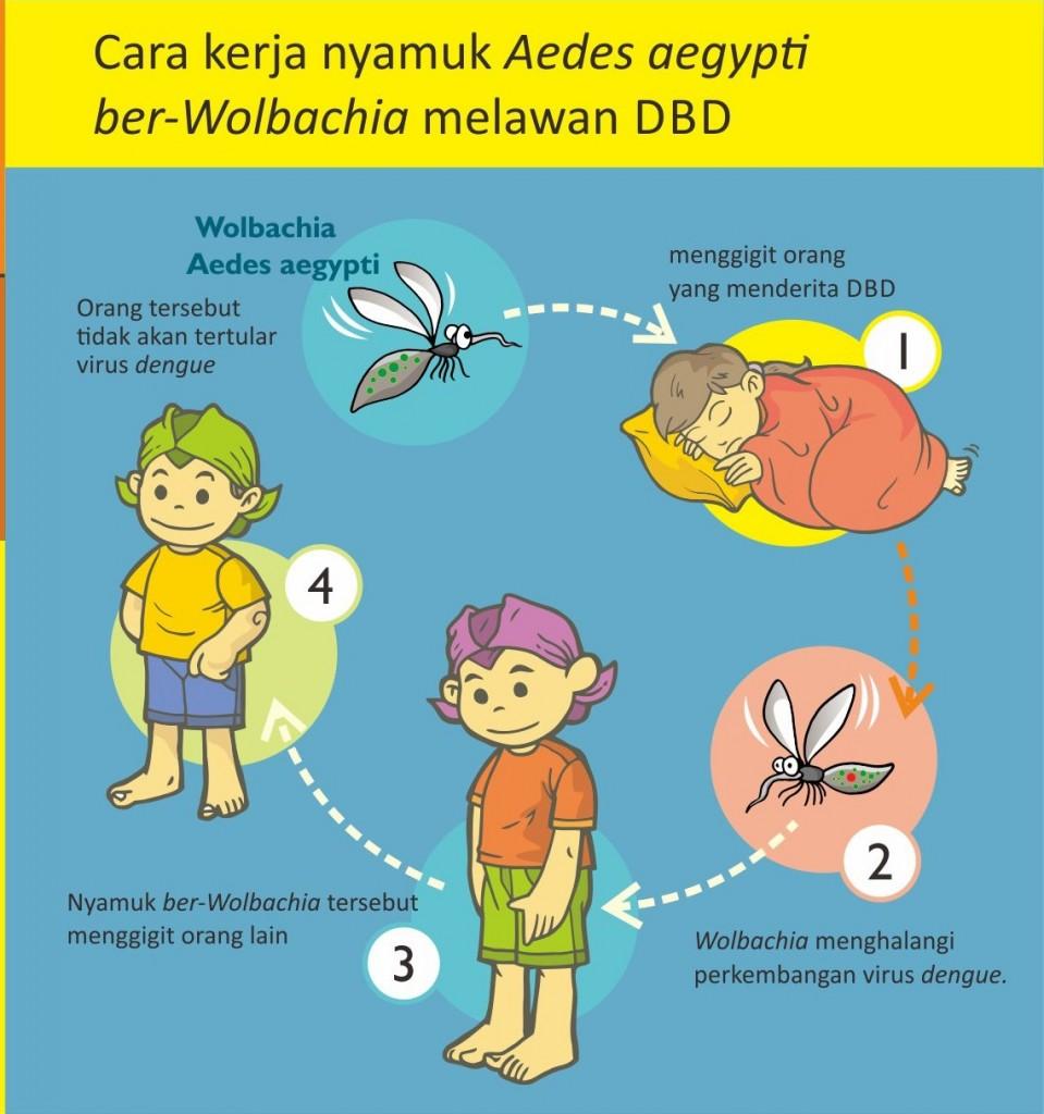 Nyamuk Aedes Aegypti ber-Wolbachia, Solusi Atasi Penyebaran Demam Berdarah