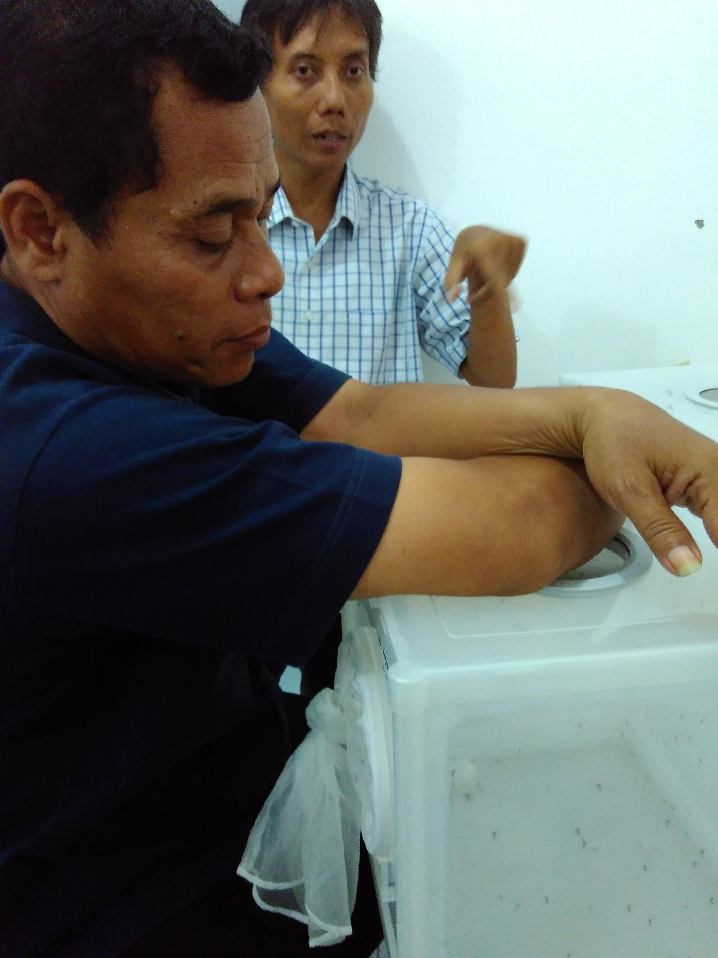 Pemberian Makan Nyamuk Aedes Aegypti Ber-Wolbachia